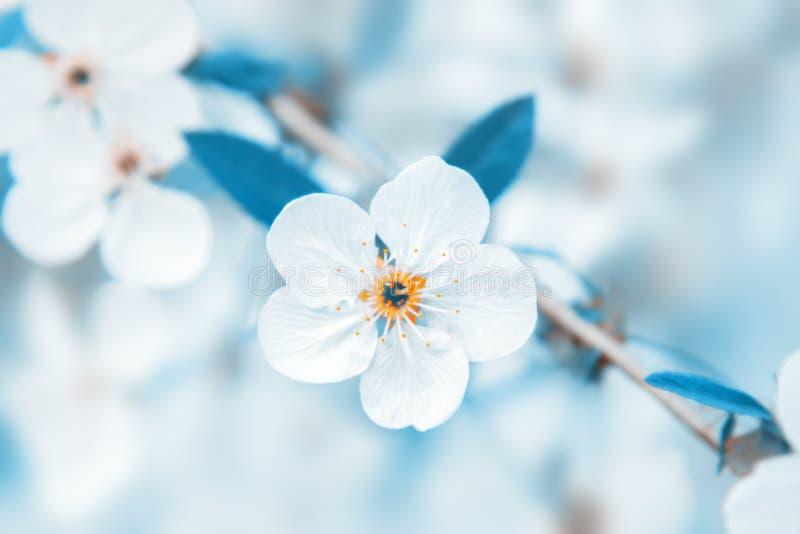 白色樱桃树花在树枝在春天开花 免版税库存图片