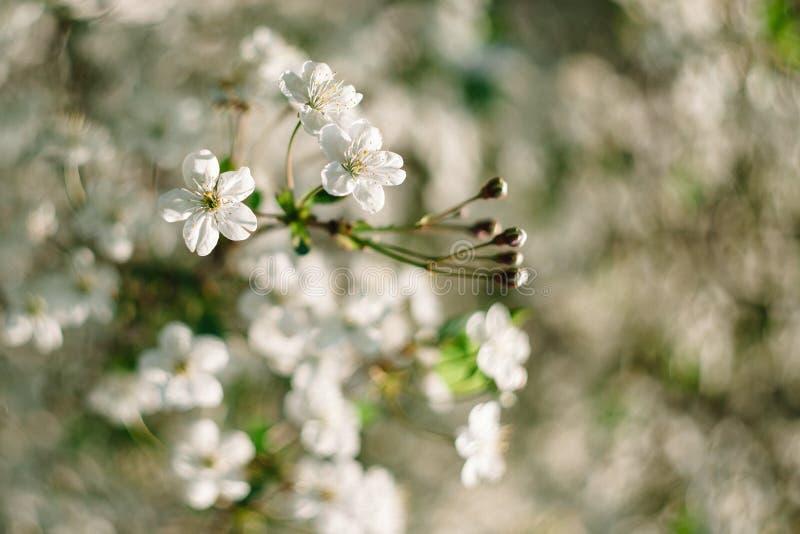 白色樱桃花关闭与在背景的美好的bokeh 库存照片