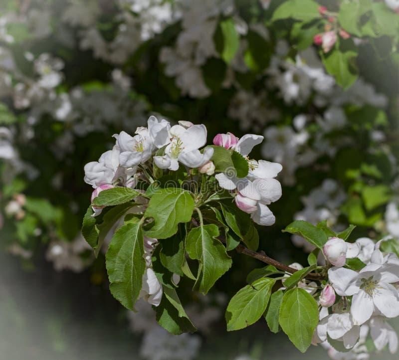 白色樱桃花关闭  免版税库存图片