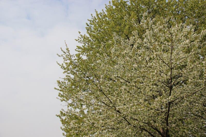 白色樱桃花和绿色叶子 库存照片