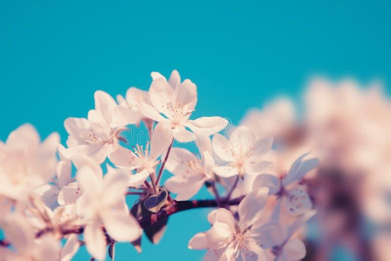 白色樱桃花在树开花 自然柔和的淡色彩背景 图库摄影