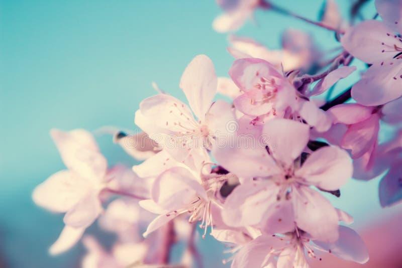 白色樱桃花在树开花 自然美好的花卉淡色背景 库存图片
