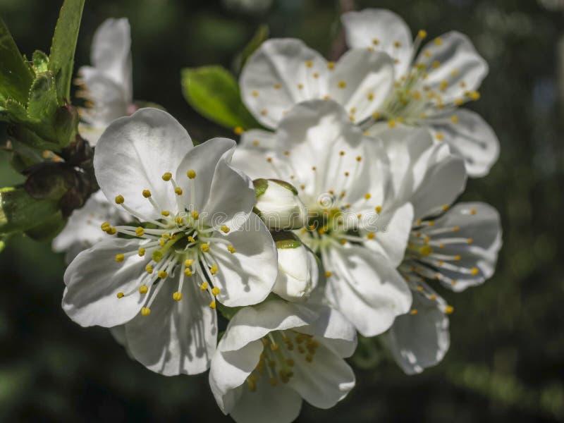 白色樱桃花特写镜头在春天开花 很多白花在晴朗的春日 免版税库存图片