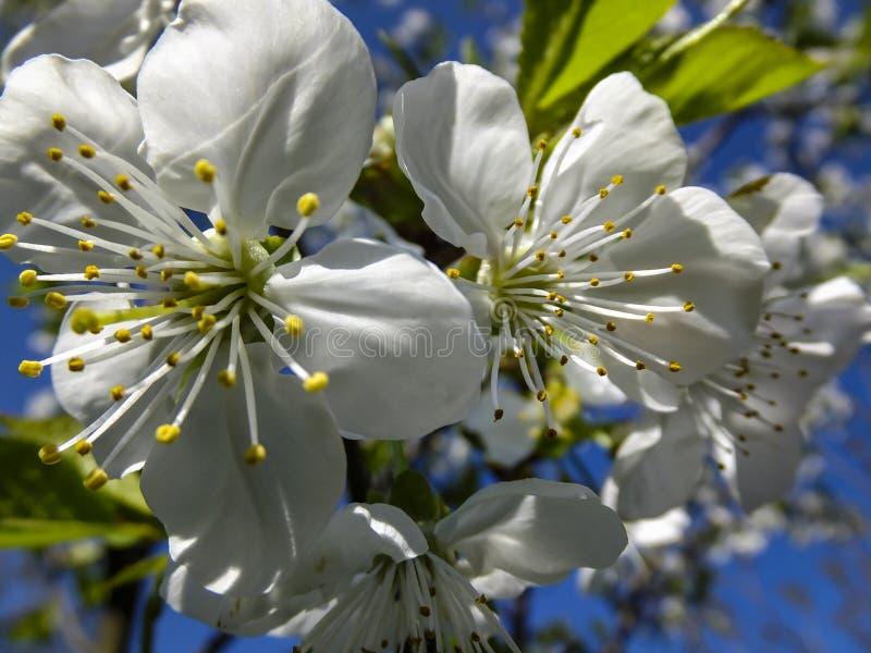 白色樱桃花特写镜头开花以天空蔚蓝为背景 免版税库存照片
