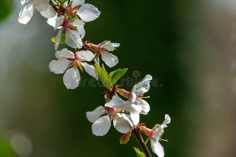 白色樱桃花石头城樱桃或李属反对被弄脏的绿色庭院背景的Tomentosa特写镜头  库存照片