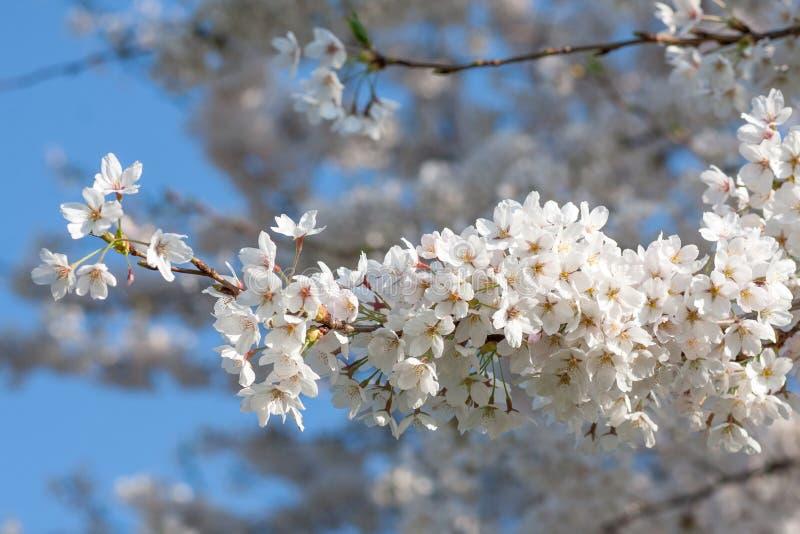 白色樱花分支  免版税库存照片