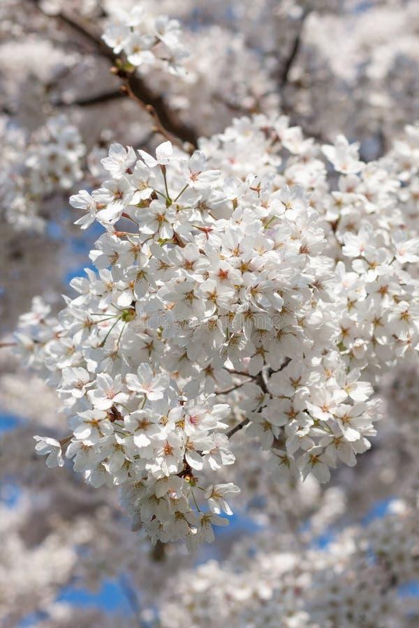 白色樱花分支  图库摄影