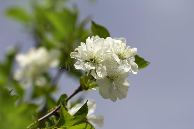 白色樱花本质上 宏指令 免版税库存照片