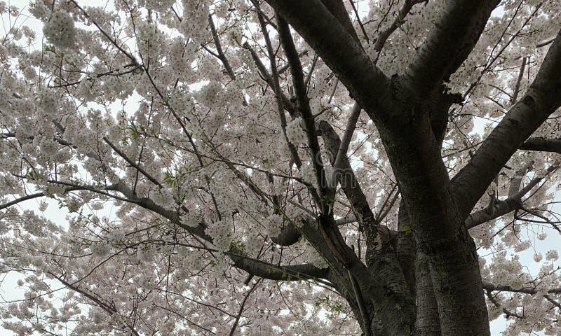 白色樱花树佐仓-峰顶开花 库存照片