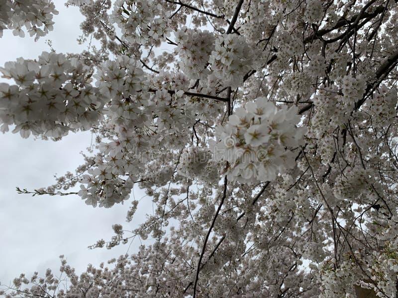 白色樱花高峰绽放 图库摄影
