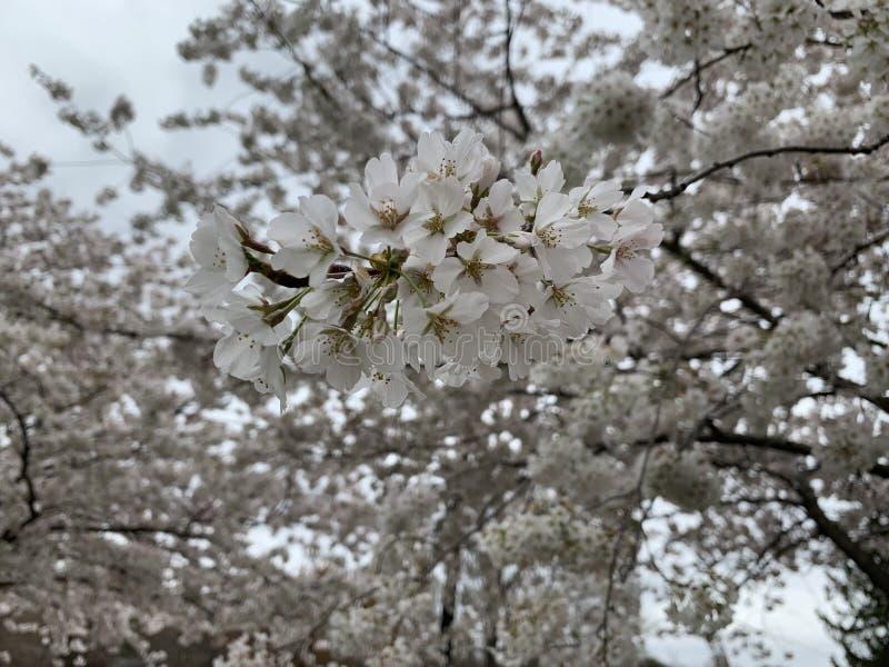 白色樱花 免版税图库摄影