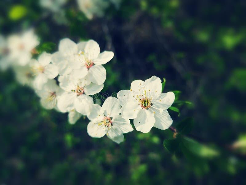 白色樱花 免版税库存图片