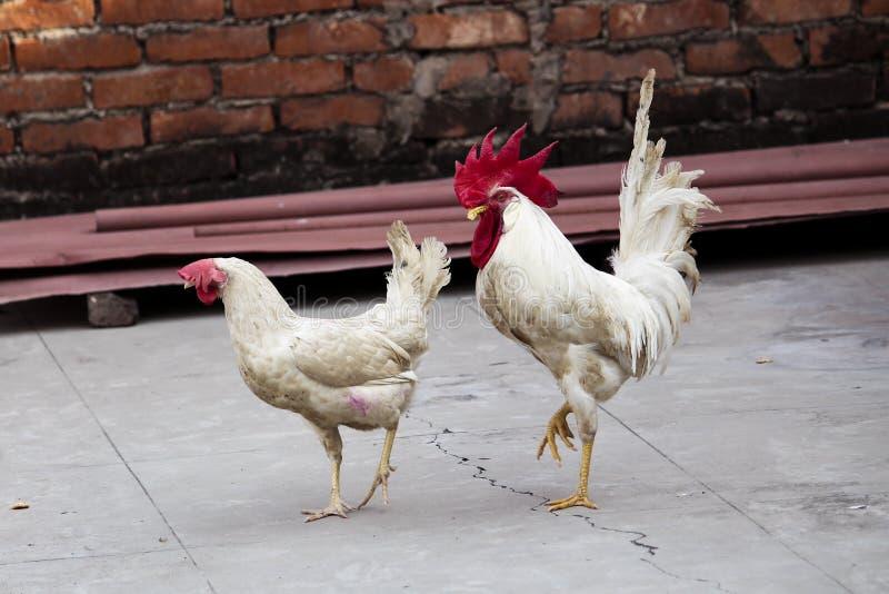 白色母鸡和公鸡 免版税库存照片