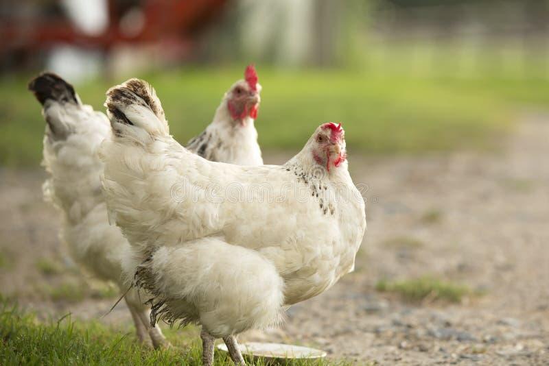 白色母鸡 库存图片