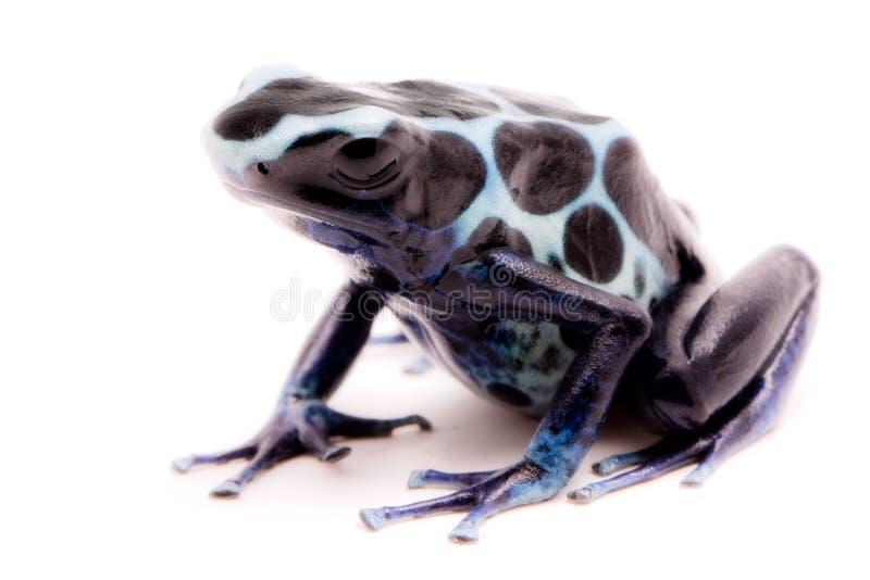 白色毒物箭青蛙Dendrobates tinctorius oyapok 库存照片