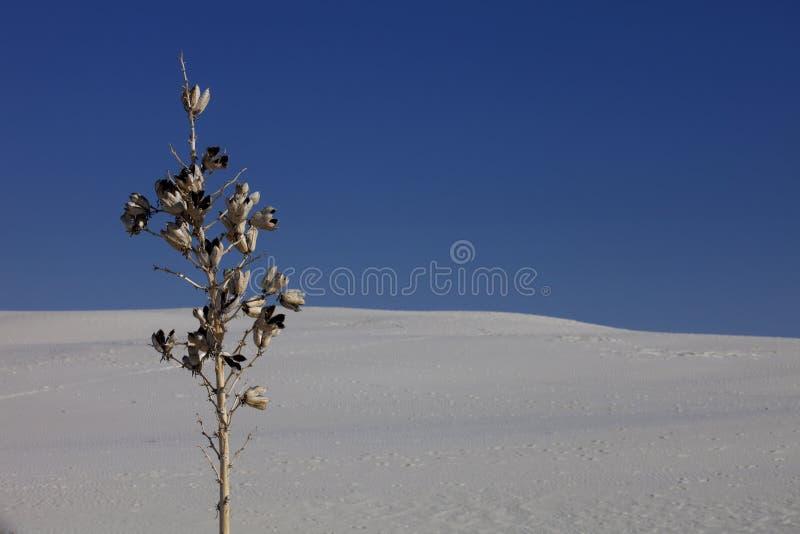 白色沙子的丝兰厂,新墨西哥 免版税图库摄影