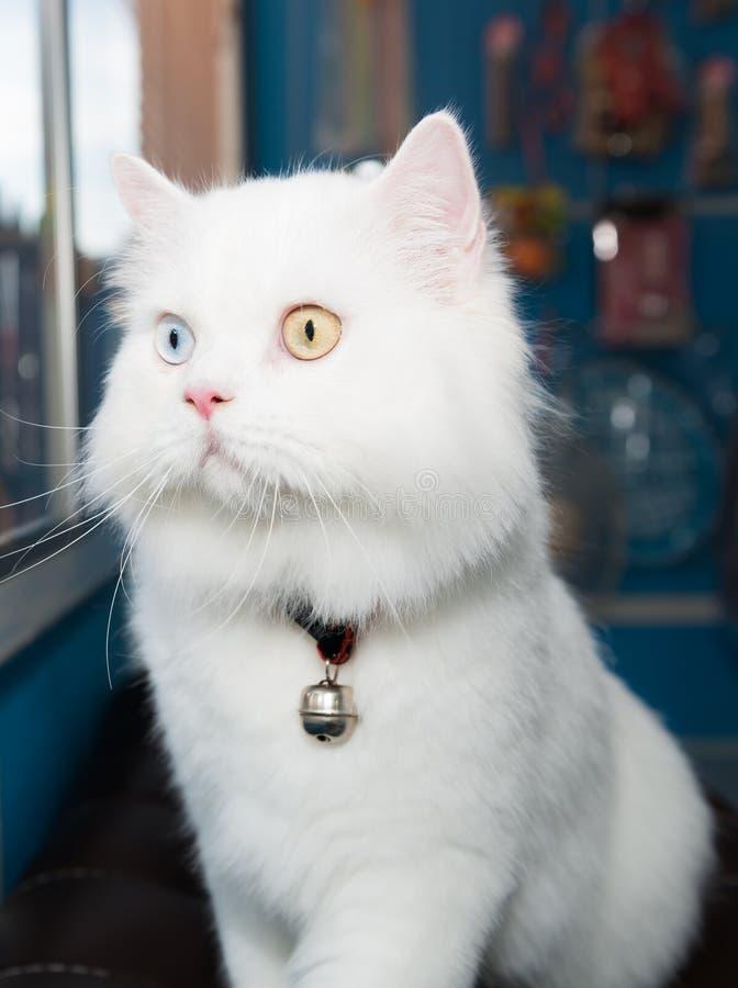 白毛蓝眼睛的猫_白色波斯猫两种颜色的眼睛 库存图片. 图片 包括有 空白, 黄色 ...