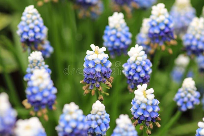 白色浅兰和深蓝风信花 库存照片