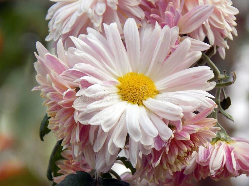 白色浅粉红色的花 库存照片