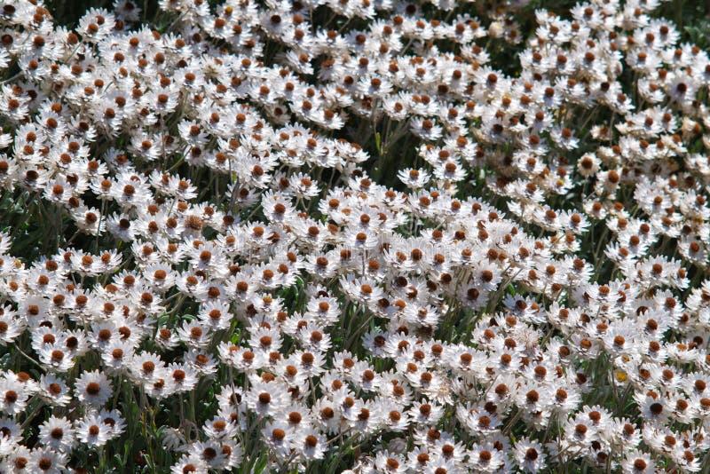白色海角延命菊领域看法  库存照片