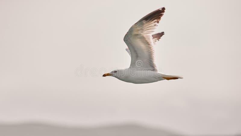 白色海鸥腾飞飞行以蓝天、云彩和山为背景 海鸥飞行到左边 免版税库存照片