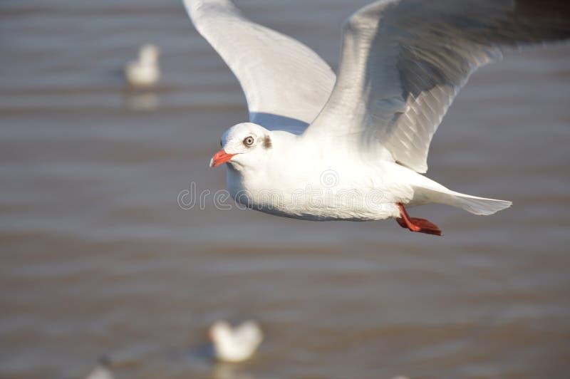 白色海鸥鸟 免版税库存照片