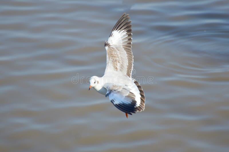 白色海鸥鸟 库存图片