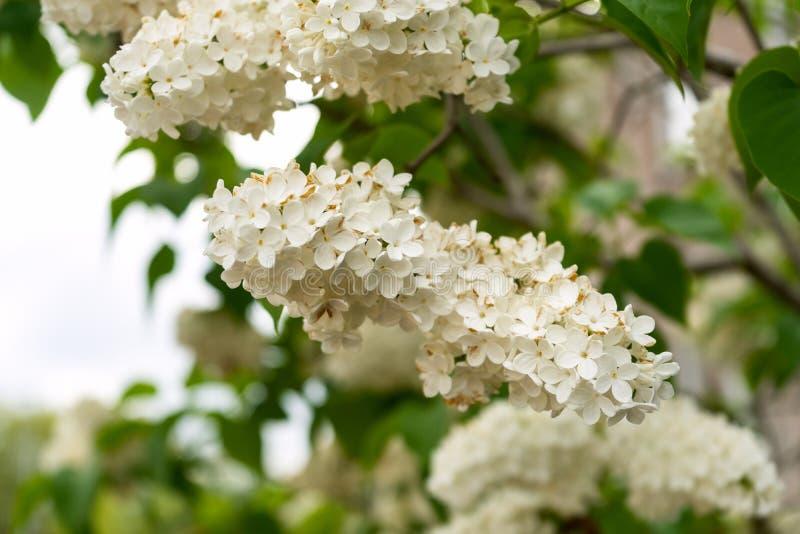 白色淡紫色花,紫丁香属植物寻常和绿色叶子分支  图库摄影
