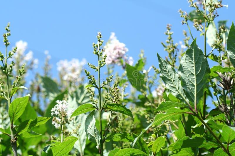 白色淡紫色花、种子和叶子在蓝天背景 库存图片