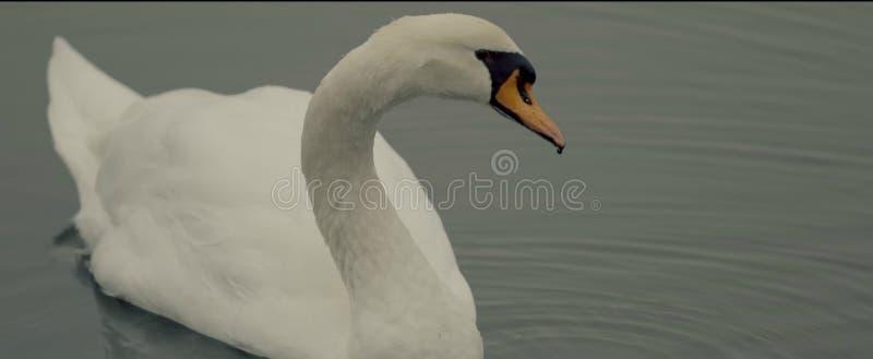 白色湖的天鹅 免版税库存图片