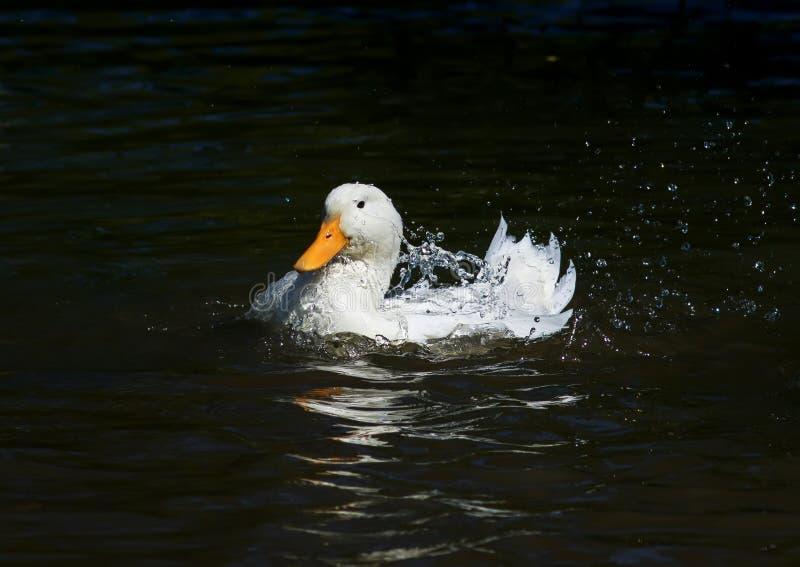 白色滑稽的鸭子在一个黑暗的湖沐浴了,喷洒水下落 免版税库存图片