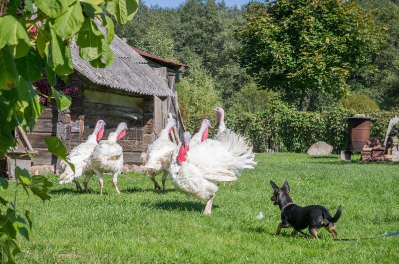 白色火鸡和狗 库存图片