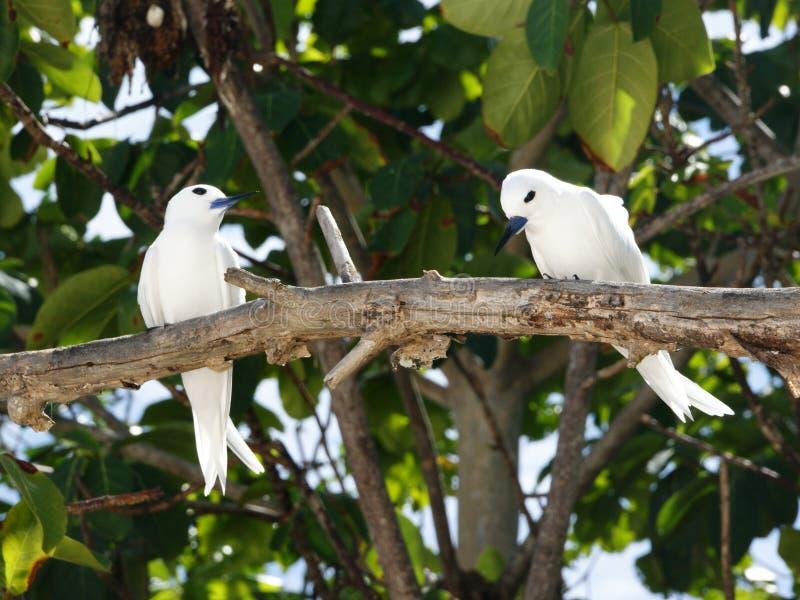 白色燕鸥,天使燕鸥,白色燕鸥类鸟(晨曲的Gygis) 图库摄影