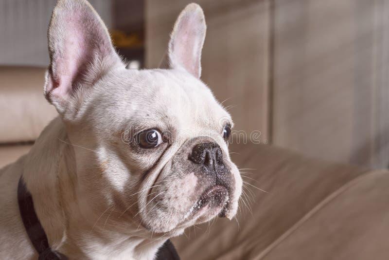 白色牛头犬关闭的枪口,特写镜头观点的可爱的法国牛头犬小狗 免版税库存图片