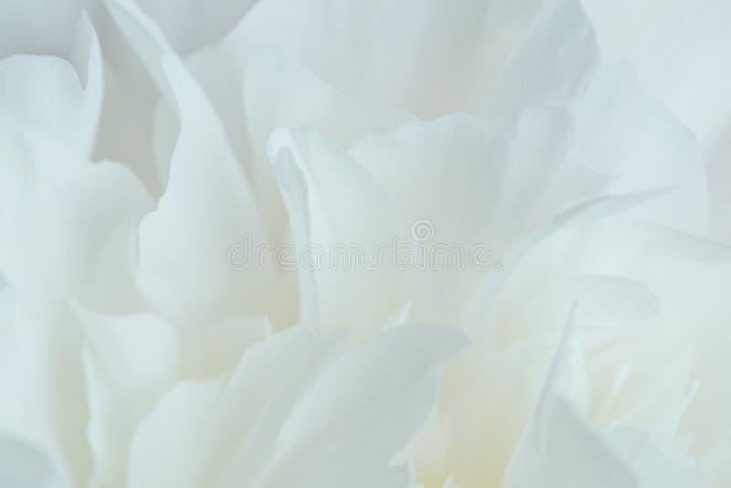 白色牡丹瓣特写镜头 免版税库存图片