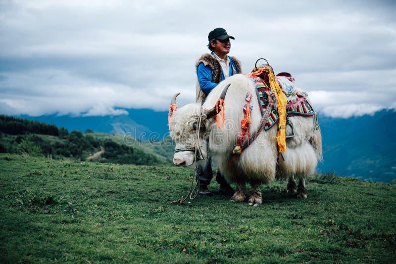 白色牦牛 免版税库存图片