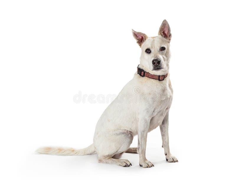 白色牧羊人杂种狗坐的边 库存图片