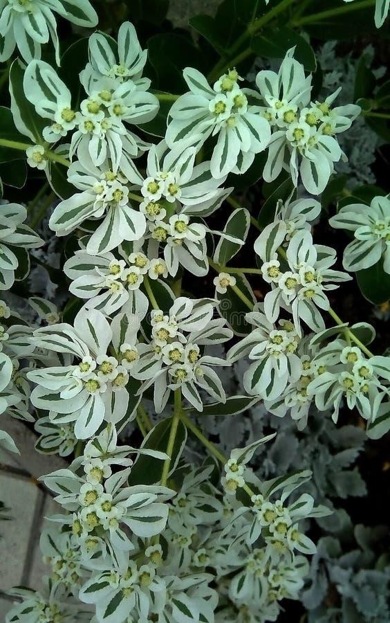 白色特写镜头与绿色花的在黑暗的背景 与绿色静脉的精美白色开花 免版税图库摄影