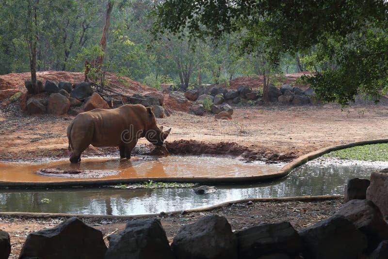 白色犀牛在动物园里 免版税库存照片