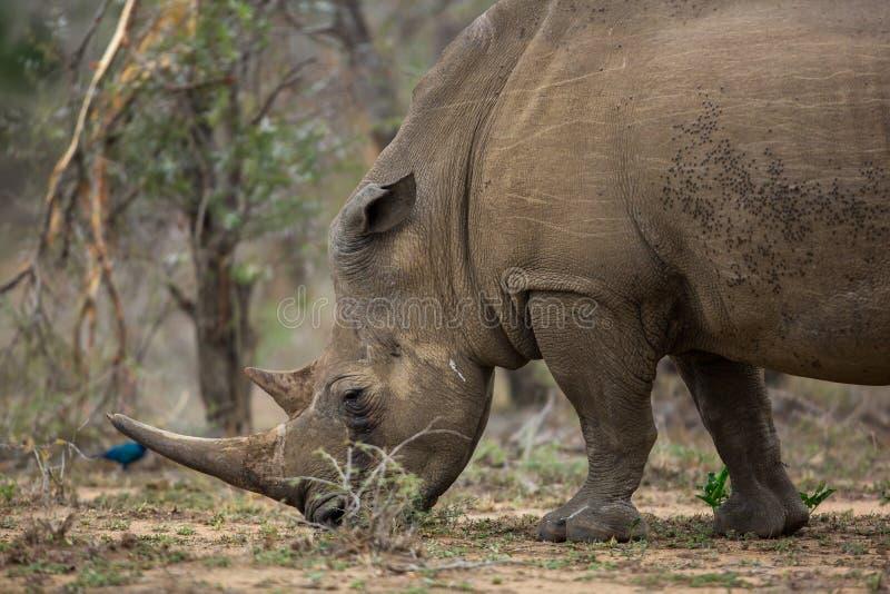 白色犀牛在南非 免版税库存图片