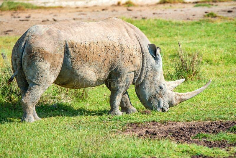 白色犀牛在大草原吃草 免版税图库摄影