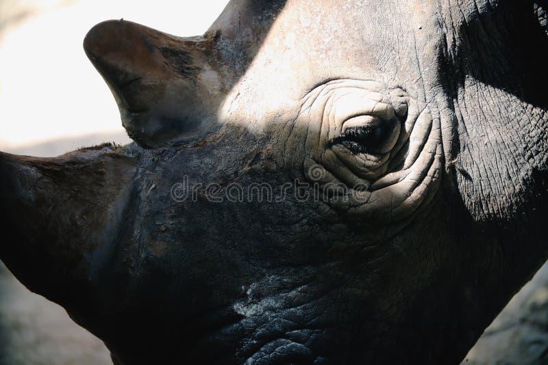 白色犀牛头 库存照片