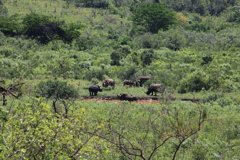 白色犀牛家庭  免版税图库摄影