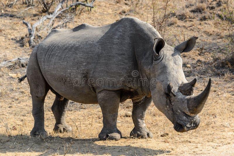 白色犀牛或正方形有嘴犀牛在克留格尔国家公园,南非 库存照片
