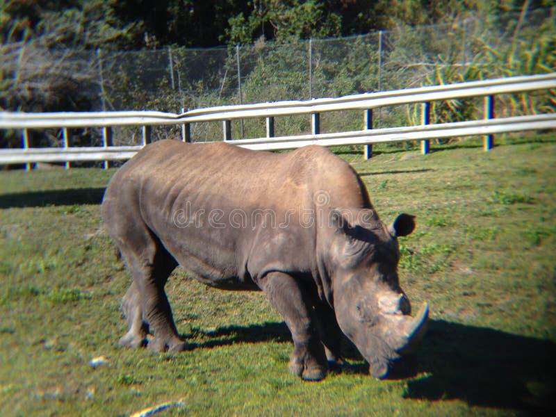 白色犀牛 免版税库存照片