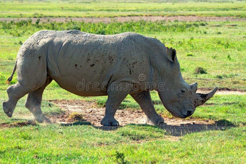 白色犀牛 库存图片