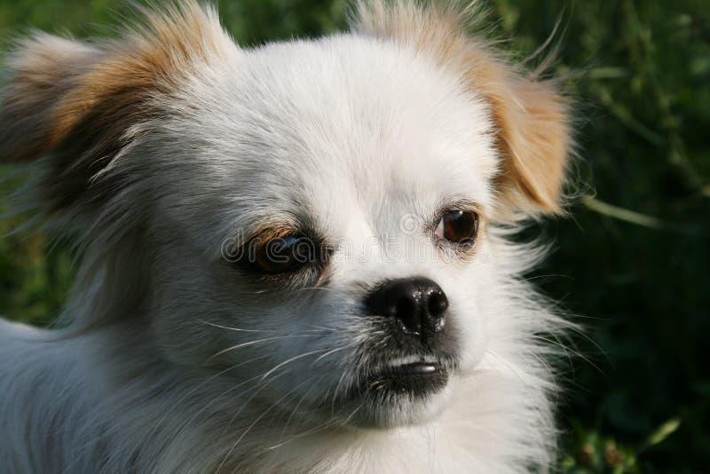 白色狗凝视入距离 免版税库存图片