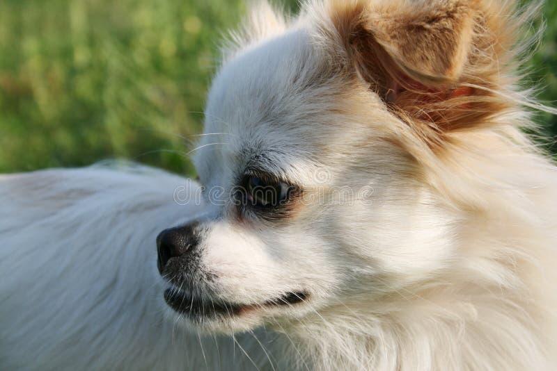 白色狗凝视入距离 免版税库存照片