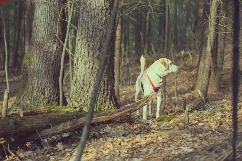 白色狗在一个晴朗的下午的森林里 库存图片