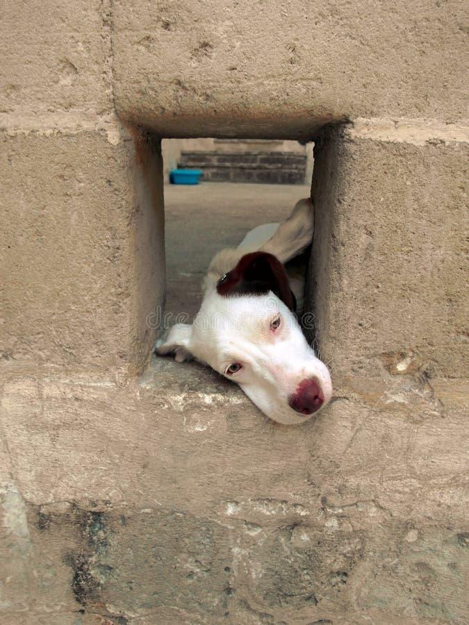 白色狗 免版税图库摄影